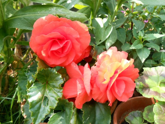 Flame orange begonias