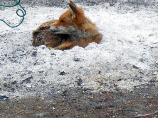 Fox resting in bonfire ash (01)