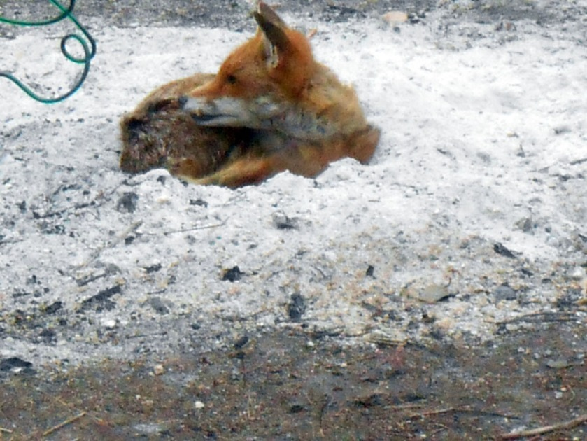 Fox resting in bonfire ash (01)