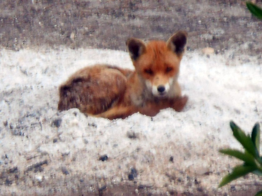 Fox resting in bonfire ash (02)