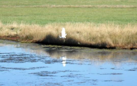 little-egret