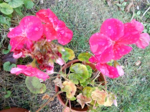 december-geraniums