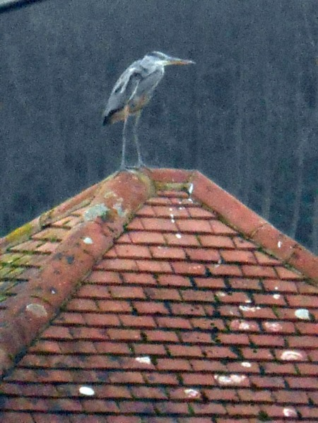 grey-heron-on-rooftop