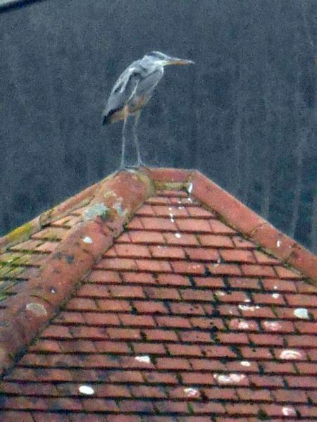grey-heron-on-rooftop