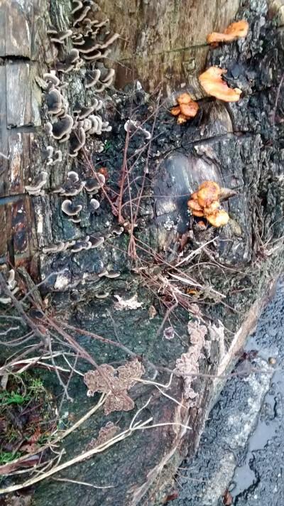 fungi-on-tree-stump
