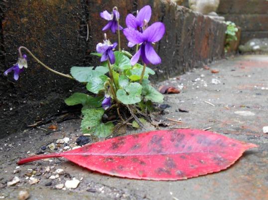 february-violets