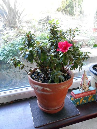 lone-azalea-flower